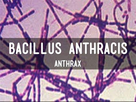 bacillus anthracis  candytgi