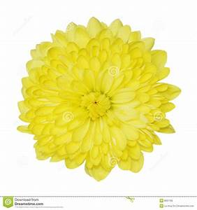 Yellow Chrysanthemum Royalty Free Stock Photo - Image: 8207795