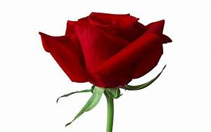 Single Red Rose Wallpapers - Wallpaper Cave