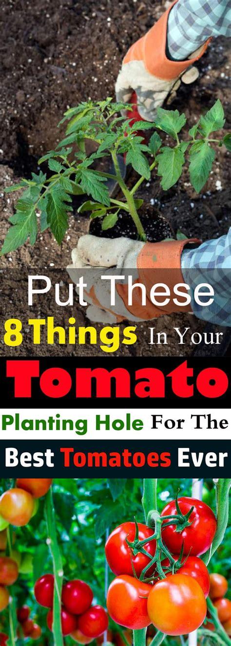 put      tomato planting hole