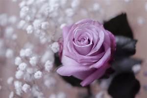 Mainzer Fastnacht Rose : rose mainzer fastnacht ~ Orissabook.com Haus und Dekorationen