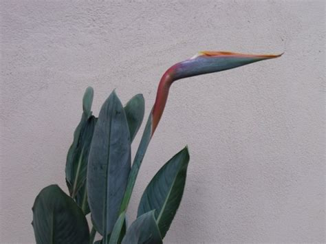 quel engrais pour laurier en pot oiseau du paradis en pot quel engrais pour favoriser sa