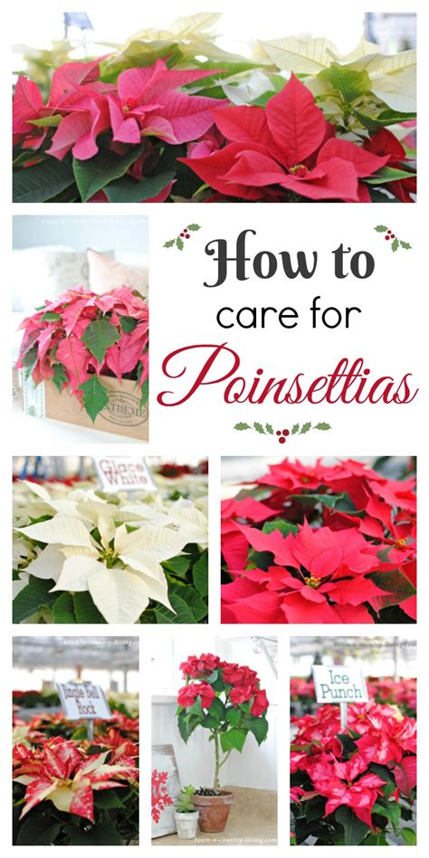 how to care for poinsettia how to care for poinsettias town country living