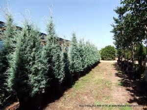 buy carolina sapphire trees we deliver install arizona cypress