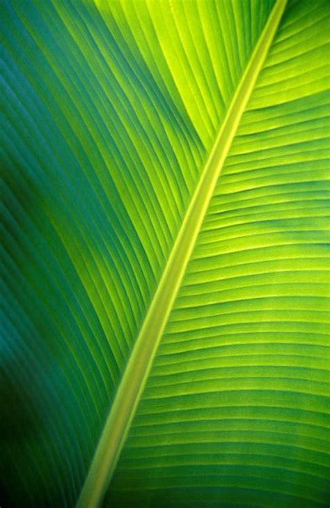 banana leaf tumblr