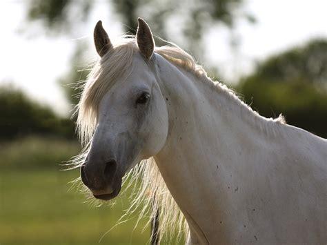 araber pferde wiki fandom powered  wikia