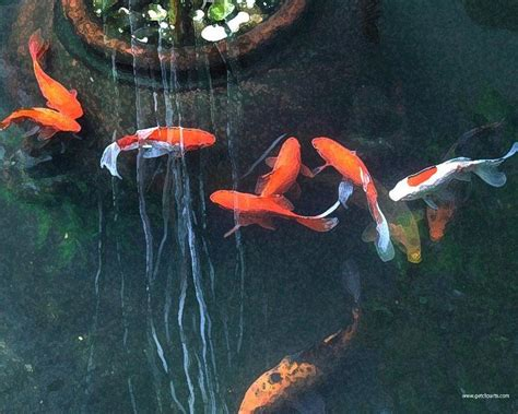 facts   koi carp fish colorful koi fish