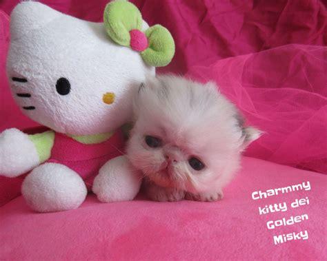 gatti persiani in vendita gatti persiani vendita gattino persiano a treviso