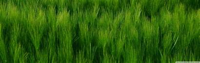 Barley Field Dual