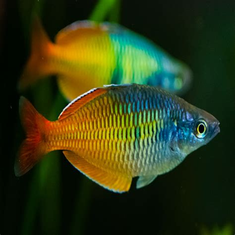 rainbow fish amazing amazon