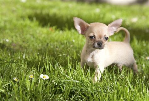 signs  hypoglycemia  chihuahuas cutenesscom