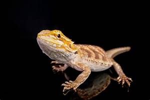 Ultimate Bearded Dragon Diet Guide - What Do Bearded ...