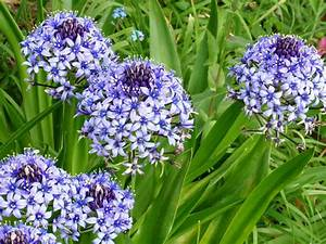 How To Grow And Care For Scilla