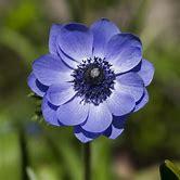 poppy-bunga
