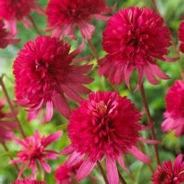 Arbuste Plein Soleil Longue Floraison : plantes vivaces echinacea ~ Premium-room.com Idées de Décoration