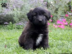 Gabby - Shepadoodle Puppy For Sale in Pennsylvania