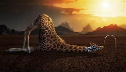 Giraffe Wallpapers Funny Pixelstalk