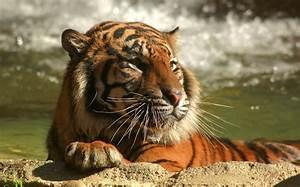 C L A : sumatran tiger c j debuts at l a zoo cubs a future endeavour la times ~ Medecine-chirurgie-esthetiques.com Avis de Voitures