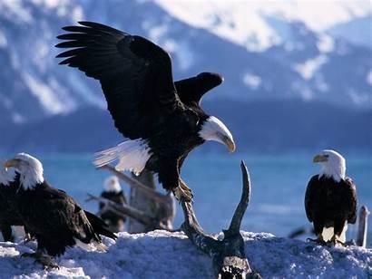 Eagle Hawk Wallpapers Animals Eagles Bald Animal