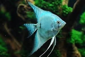 Blue Blushing Angelfish