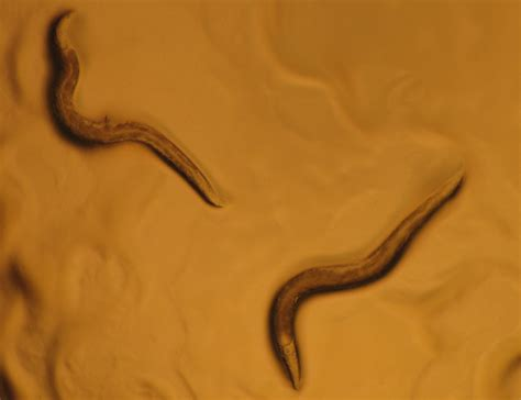 Nematodes in the Laboratory - What's That Bug?