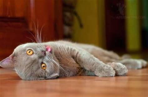 Dead Cat Blank Template Imgflip