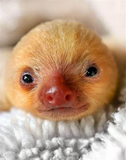 Sloth Sloths Cute Baby Sharesloth Super Sid