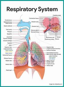 Respiratory System Anatomy And Physiology