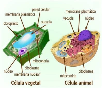 marenen bloga celulas animal  vegetal