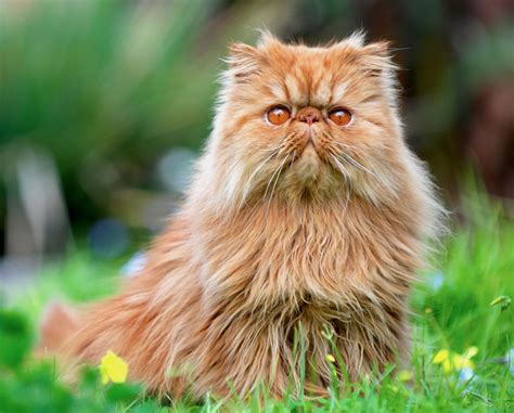 Pros And Cons Of 9 Different Cat Breeds