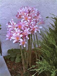 1000+ images about naked ladies flowers on Pinterest ...