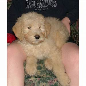 Puppies for sale goldendoodle goldendoodles f for Dog kennels for sale in ohio