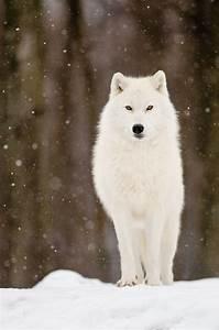 Bébé Loup Blanc : weiss wie schnee w lfe wolf wolf bilder und wei e ~ Farleysfitness.com Idées de Décoration