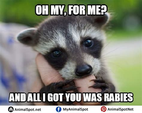 Excellent Raccoon Meme - raccoon memes