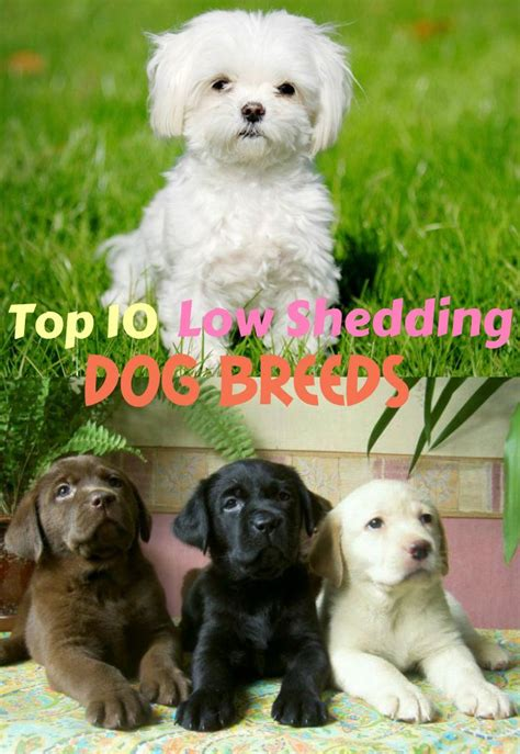 breed shedding 1000 images about breeds on