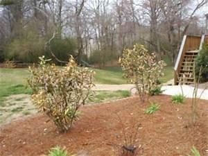 Oleander Im Winter : oleander frozen walter reeves the georgia gardener ~ Orissabook.com Haus und Dekorationen