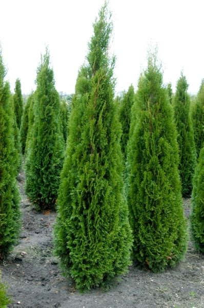 thuja occidentalis brabant 12 18 thuja occidentalis smaragd treesandshrubs