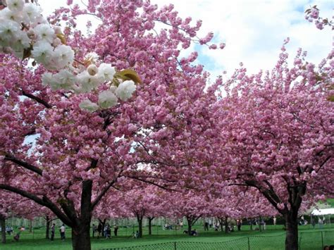 flowering trees 20 most beautiful flowering trees around the world
