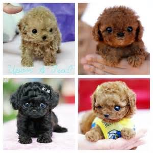 Adorable Teacup Poodle Puppies