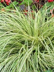 Carex Hachijoensis Evergold Pflege : product viewer carex evergold ~ Lizthompson.info Haus und Dekorationen