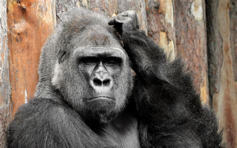 excellent hd gorilla wallpapers