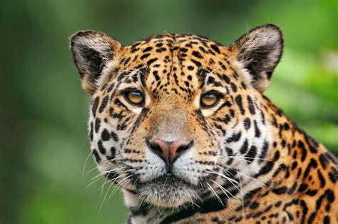 coolest jaguar cat cool jaguar wallpapers and images wallpapers pictures