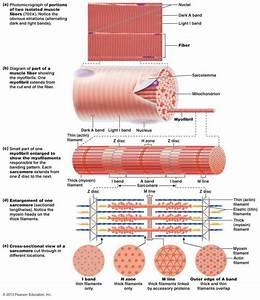 Gross Anatomy Of Skeletal Muscle
