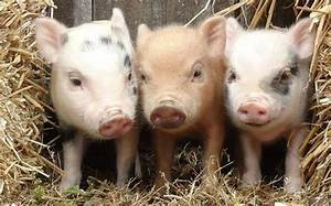One Two Three Little Piglets
