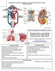 All Human Body Systems And Their Functions