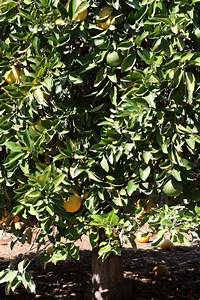 citrus id fact sheet hyuganatsu