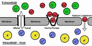 ruhe und aktionspotential einfach erklärt