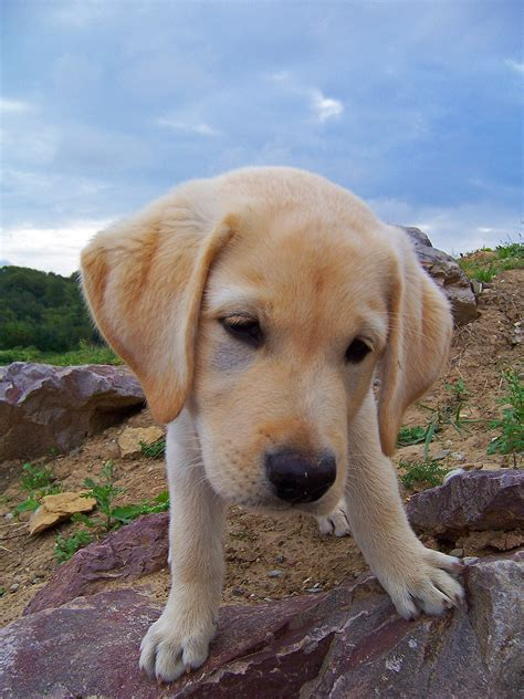 images puppy animal cute pet nose golden