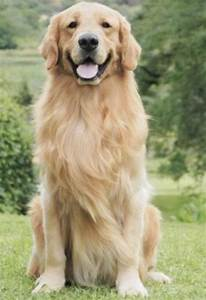 Golden Red River : 35 most awesome golden retriever dog pictures and images ~ Orissabook.com Haus und Dekorationen