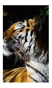 Animal Tiger 1 4K HD Animals Wallpapers | HD Wallpapers ...